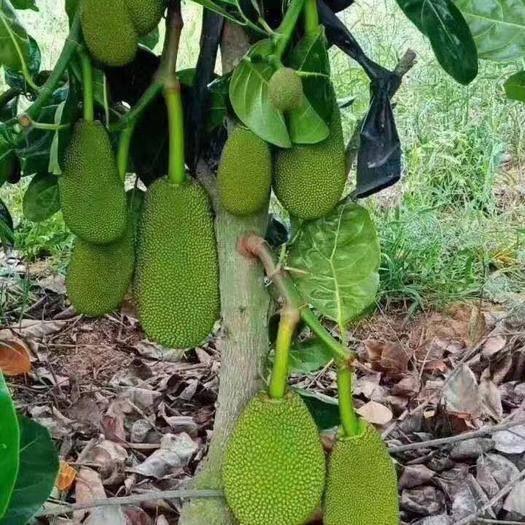 钦州灵山县红肉菠萝蜜苗 泰国八号菠萝蜜