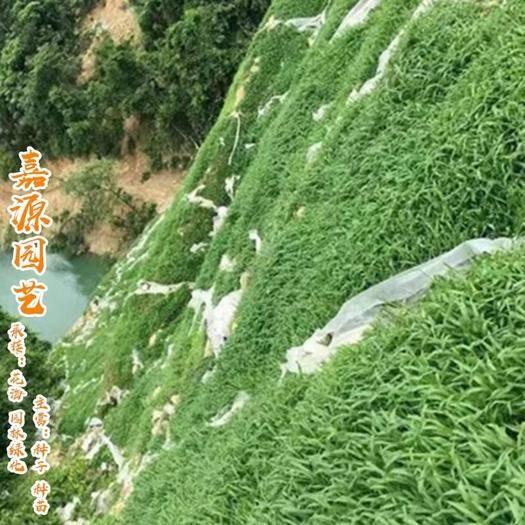 成都锦江区 护坡草种子新种子包邮