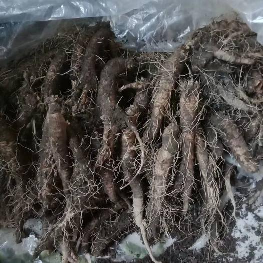 吉林省吉林市桦甸市 沙参(山胡萝卜,山地瓜)供应,纯绿色山野菜,润肺补气滋补健康