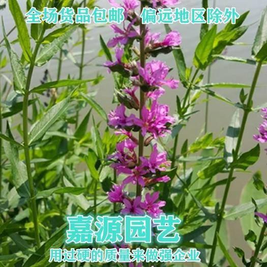 成都锦江区 千屈菜种子新种子包邮