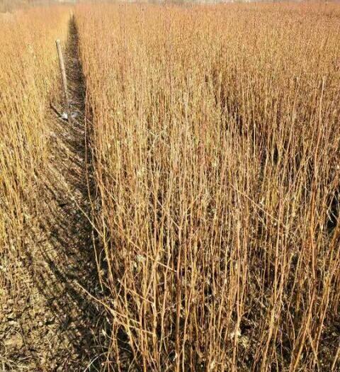 抚顺清原满族自治县 大量出售白桦树苗