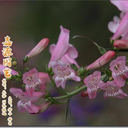 成都锦江区 钓钟柳种子包邮