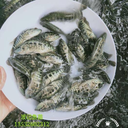 广东省惠州市博罗县 淡水石斑鱼苗
