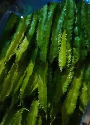 云南省西双版纳傣族自治州景洪市长寿翼豆 新鲜货,需要的老板可以可以来电,300斤起发,空运,