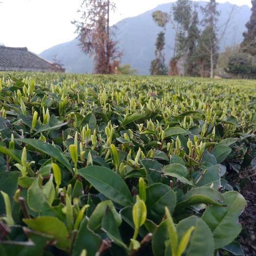 四川省雅安市石棉县 高山手工绿茶