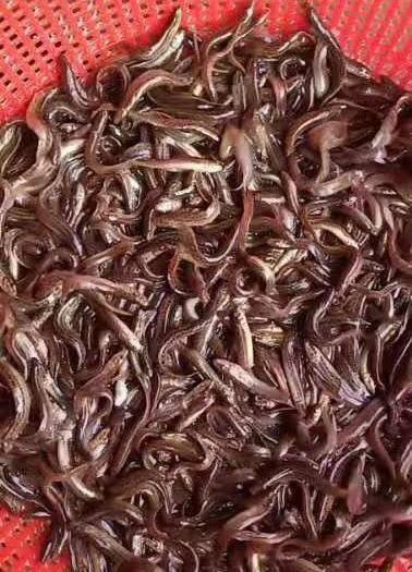 四川省眉山市东坡区川崎泥鳅苗 台湾泥鳅