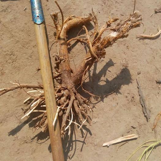 赤峰阿魯科爾沁旗 七年生五百畝自然生鮮苦參拋售