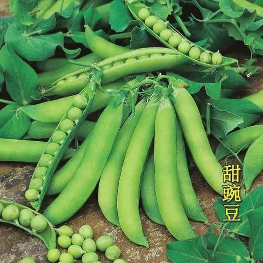 江苏省南通市如东县中豌6号 10-12cm