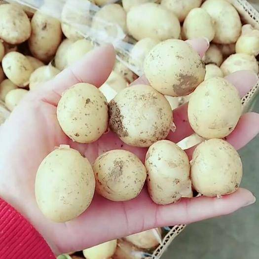 滕州市 出售迷你小土豆