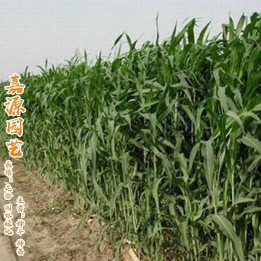 成都锦江区 进口苏丹草种子产量高源头供货各种牧草种子包邮
