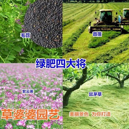 宿迁沭阳县 鼠茅草种子新种了包邮