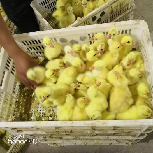 新鄉原陽縣皖雜鵝苗 品種大,質量好,管銷售