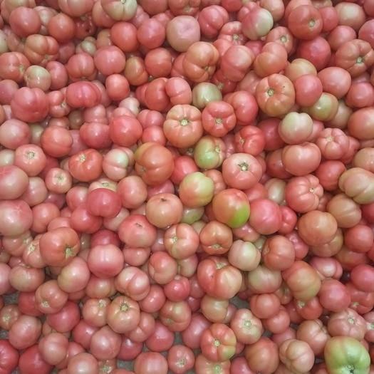 山西省运城市新绛县 刚下来的西红柿质量好