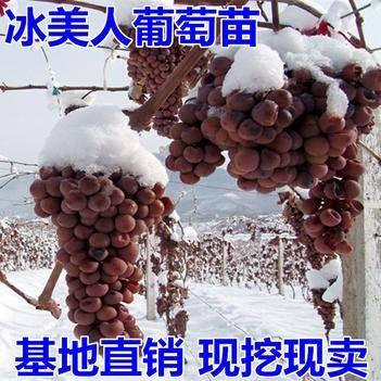 晚熟葡萄金优2号葡萄树苗冰美人葡萄苗冬天结果的冰葡萄果树苗