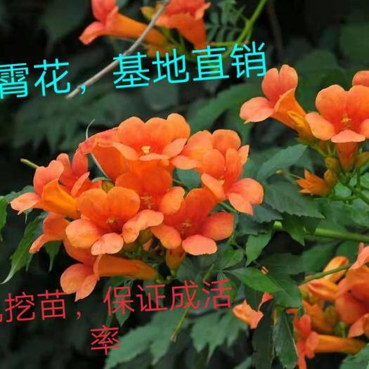 临沂平邑县凌霄苗 花期长,耐寒植物,适合庭院栽种