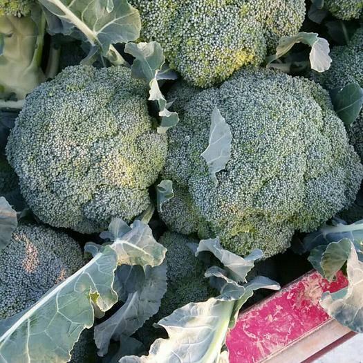 新野縣耐寒優秀西蘭花 0.5~0.8斤 10~15cm