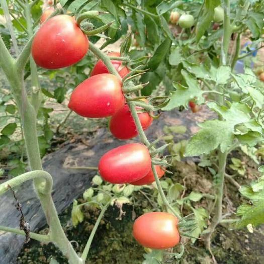 聊城莘县 新鲜现摘现发5斤圣女果应季水果小孩孕妇可以吃的千禧小西红柿