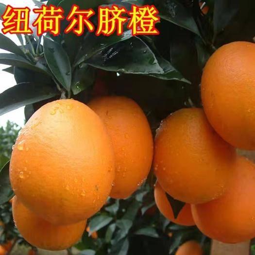 临沂平邑县纽荷尔脐橙苗 根系发达  易成活  基地直销 保证成活率