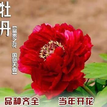 牡丹苗 观赏牡丹花  庭院盆栽  花期长  基地直销  保证成活率