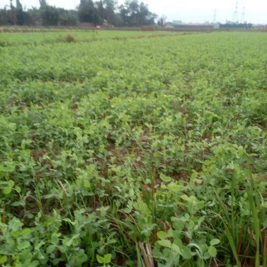 四川省德阳市广汉市豌豆苗 优质豌豆尖,折耳叶