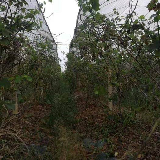 融安县 三百多亩葡萄园急需转租