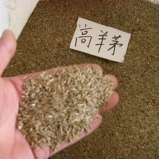 成都锦江区 高羊茅种子包邮