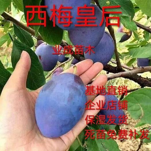 临沂平邑县西梅苗 西梅皇后 口感香甜 基地直销 现挖现发 包品种包结果