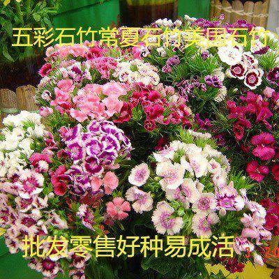 宿迁沭阳县 五彩石竹种子四季种易活混色石竹十样锦常夏石竹美国石竹花种