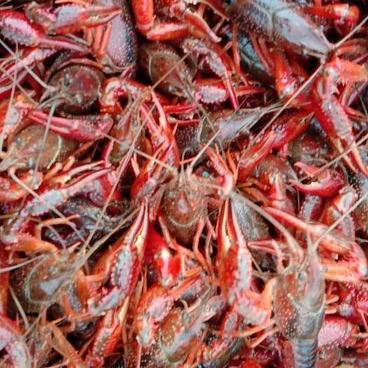 潜江潜江市潜江小龙虾 物美价廉2-10以上的规格