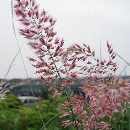 深圳龙岗区护坡草种子 糖蜜草
