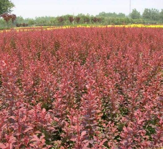 咸陽紅葉小檗