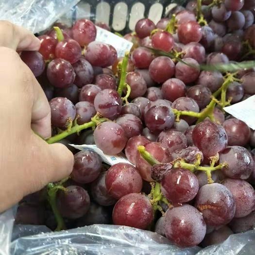 晋州市 巨峰葡萄 红提葡萄 耐运输 口感甜