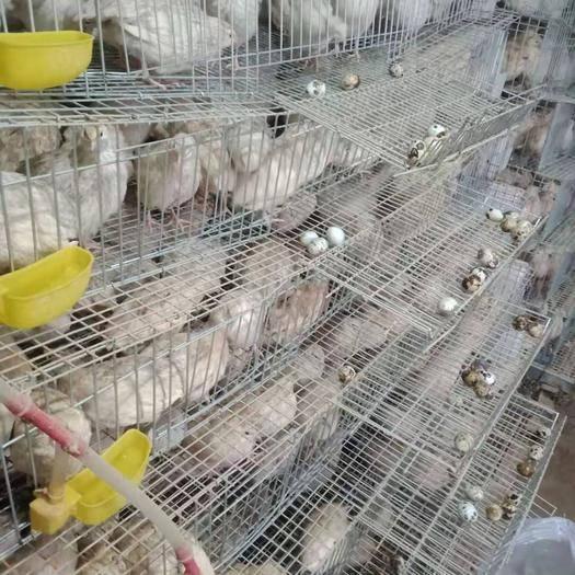 河北省保定市唐县 出大量新鲜鹌鹑蛋,接受预定,欢迎订购