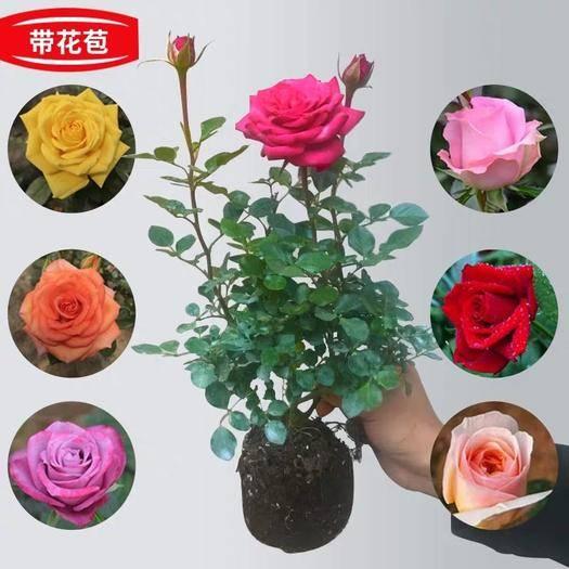 平邑县蔷薇苗 正品 优质一级苗 保证品种 包成* 基地直销 全国包邮