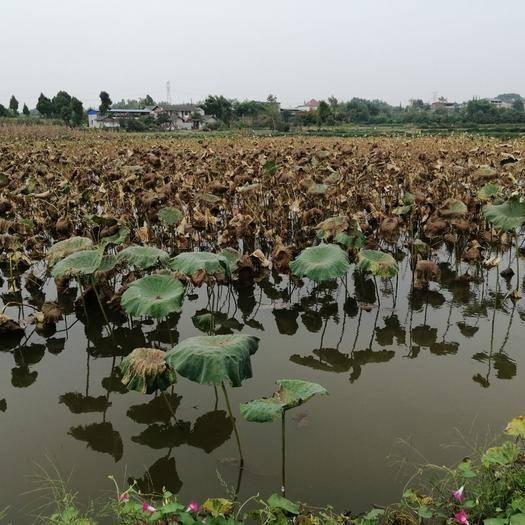 四川省德阳市罗江区塘藕 前一年养的鱼,今年种的藕巴适得很