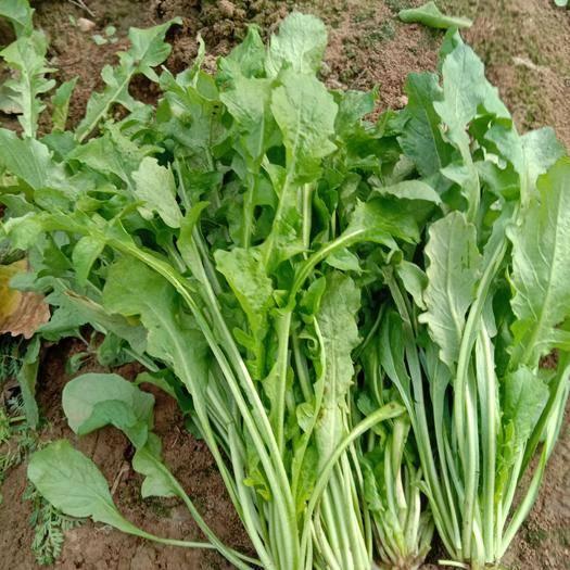 河南省南阳市宛城区 荠菜量上市中,有着多年种植基地