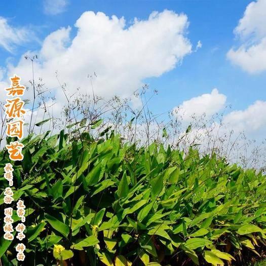 成都锦江区 再力花种子新种子包邮