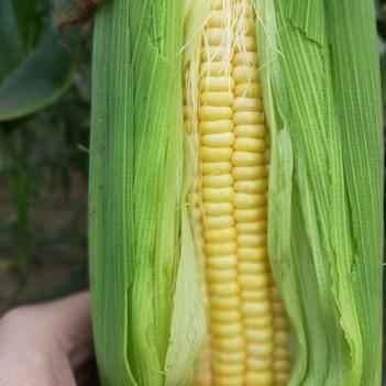 甜玉米,水果玉米,金黄玉米粒粒粒饱满,每个一斤达标精品