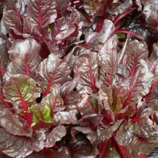 濰坊青州市紅莧菜 10-15cm 紫紅