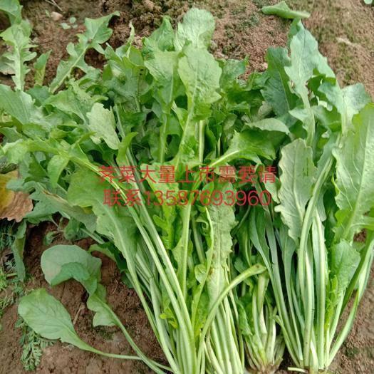 河南省南阳市宛城区板叶荠菜 10cm以上