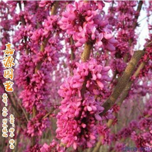 成都锦江区紫荆花种子 紫荆种子巨紫荆种子包邮