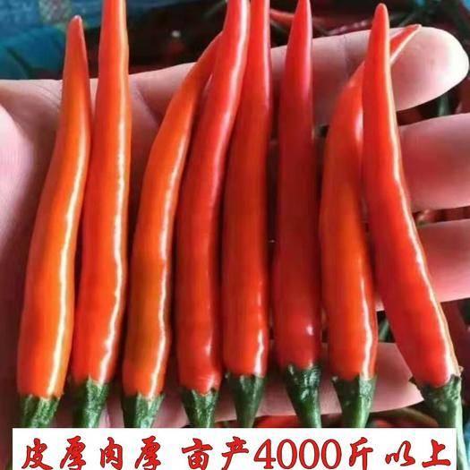 郑州朝天椒种子 泰国进口大果型,高辣颜色艳丽高抗病产量极高效益好厂家直销