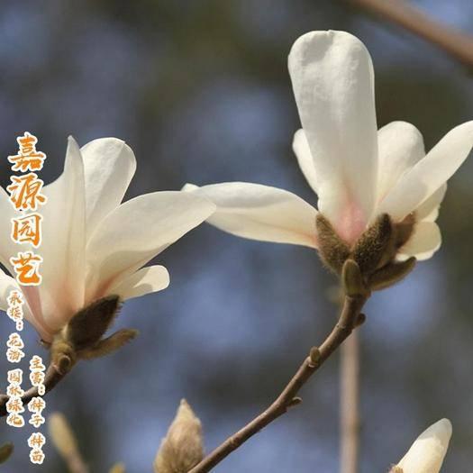 成都锦江区 玉兰种子广玉兰紫玉兰白玉兰种子包邮