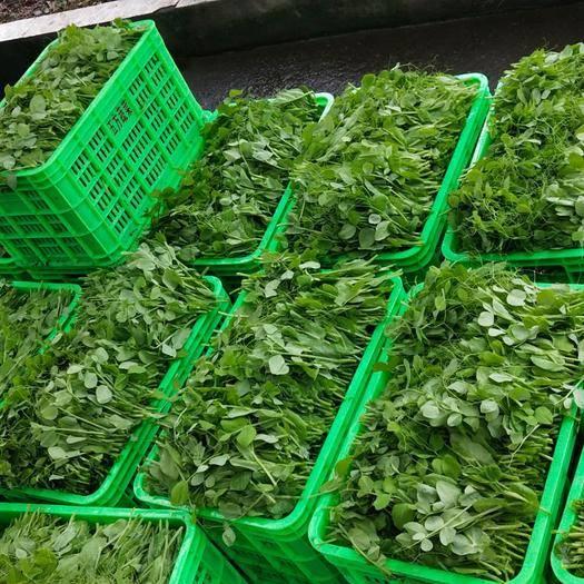 四川省德阳市绵竹市豌豆苗 新鲜,质量过硬