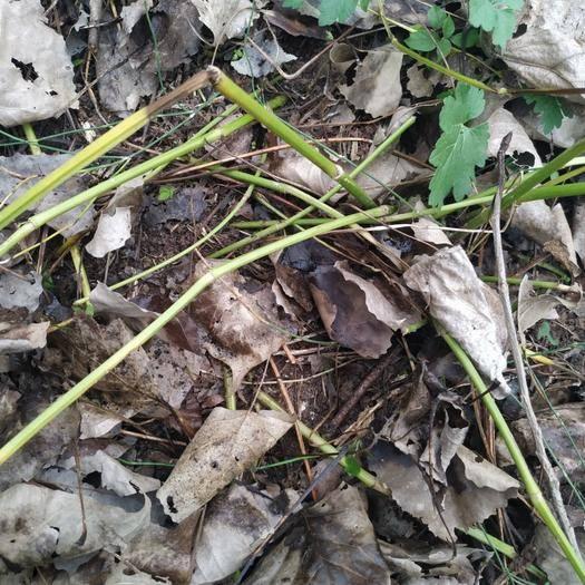 湖南省益阳市南县 水芹菜野芹菜老茎可做种繁殖快易存活绿茎尖叶