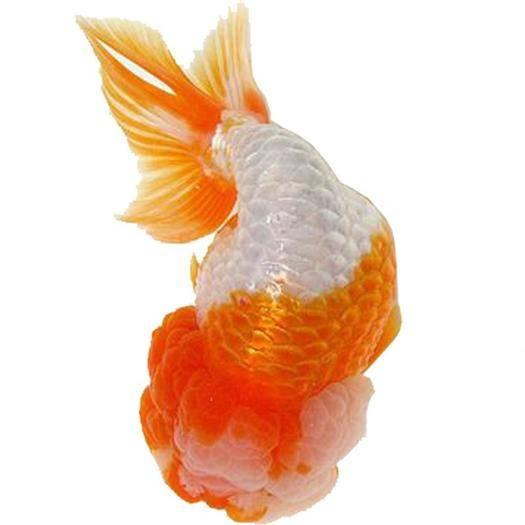 南通海门市 金鱼活体鱼苗观赏鱼小金鱼锦鲤鱼冷水鱼兰寿蝶尾易养招财宠物批发