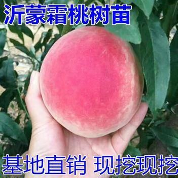 沂蒙霜红桃树苗冬桃树苗晚熟品种南方北方种植果园当年结果