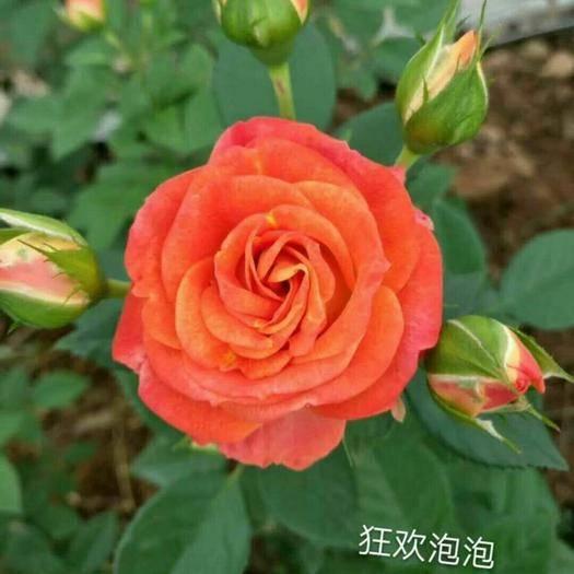 昆明呈貢區紅玫瑰 豐花月季大花月季鮮切花基地直銷
