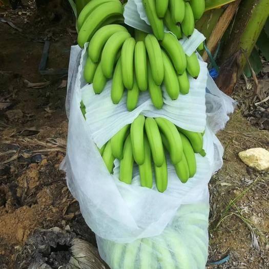 南宁西乡塘区 广西南宁市香蕉靓货, 大基地蕉, 可以天天发大车