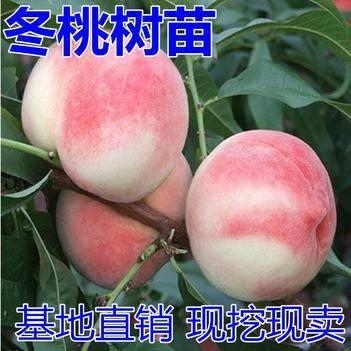 晚熟桃树苗巨型冬桃树苗雪里红冬桃苗中华桃王云南冬桃树苗